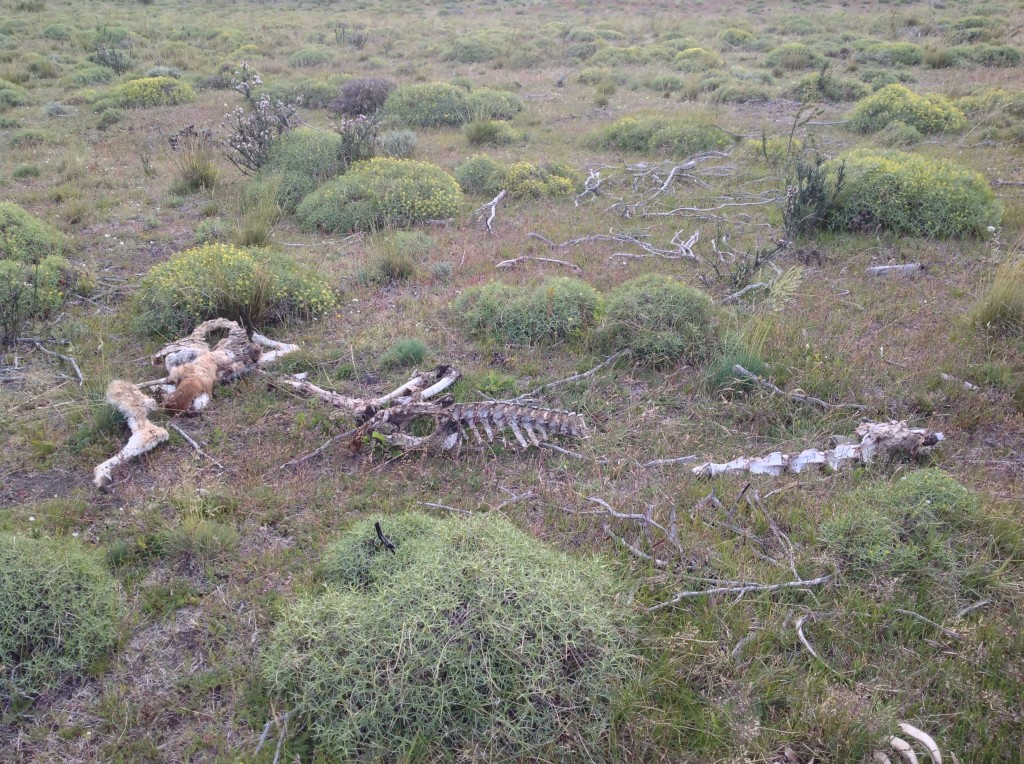 The natural terrain was often littered with animal carcasses.  This one is the hind quarter of a guanaco.