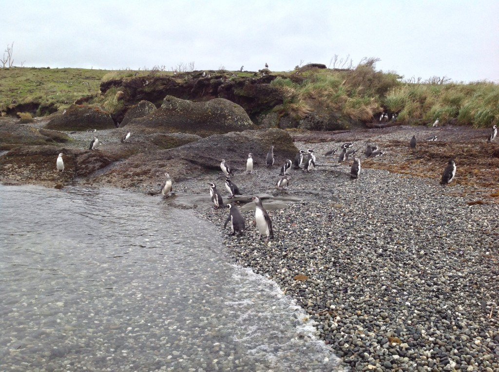 A bunch of Megellanic Penguins hanging around.