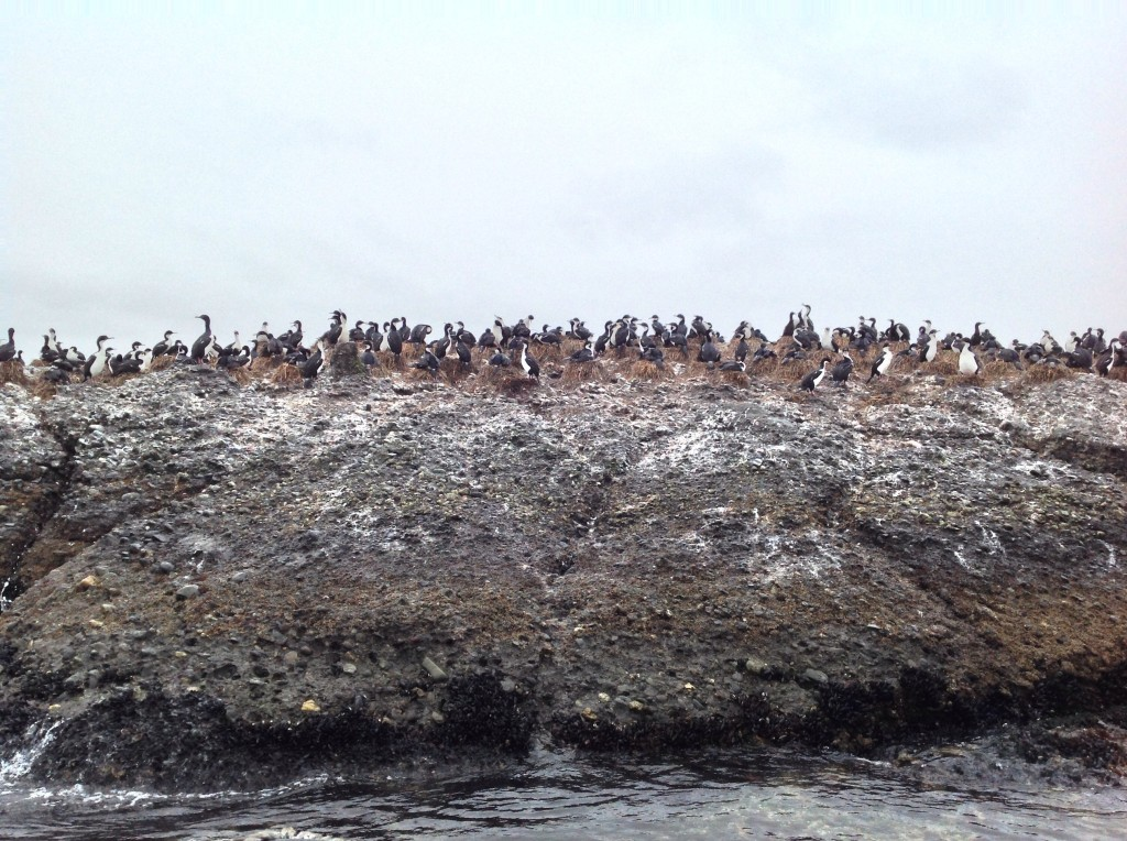 A gulp of Imperial Cormorants, also adjacent to the penguin colony.
