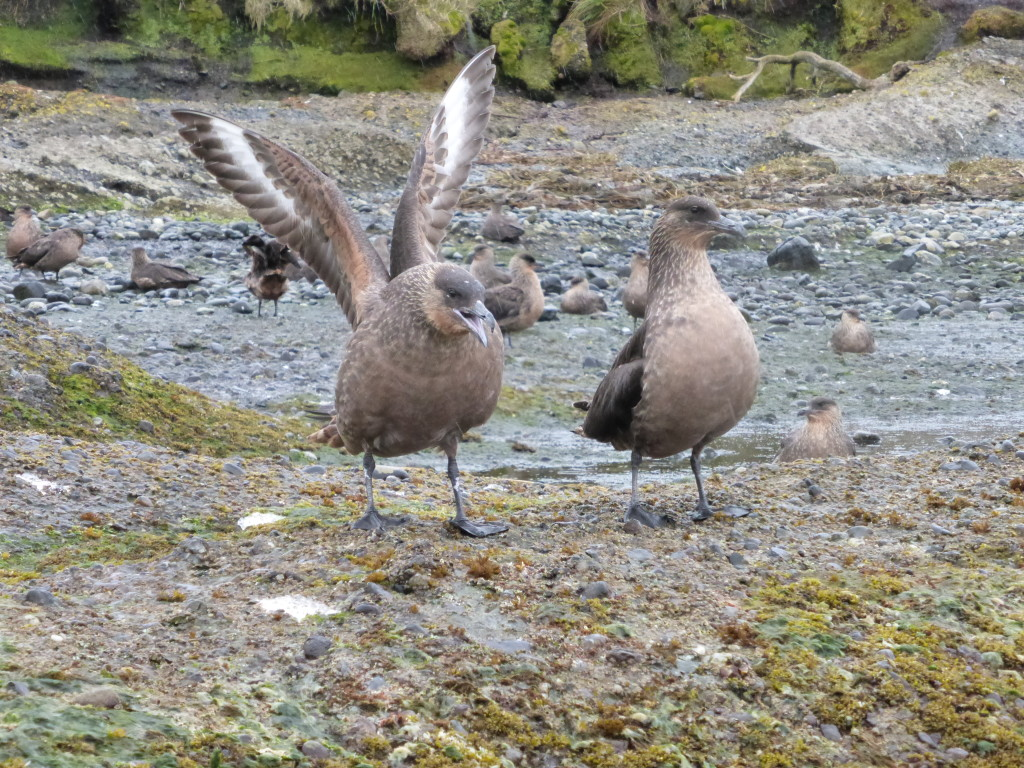Skuas hanging out adjacent to the penguin colony.