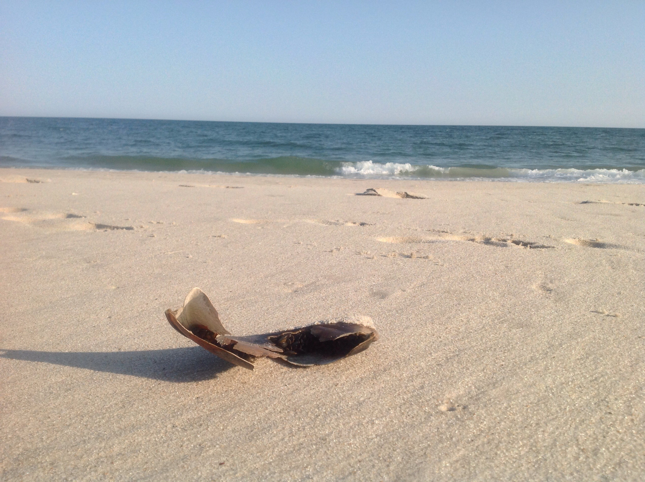 The waves washed up a piece of a horseshoe crab shell filled with tiny mussels thriving inside.