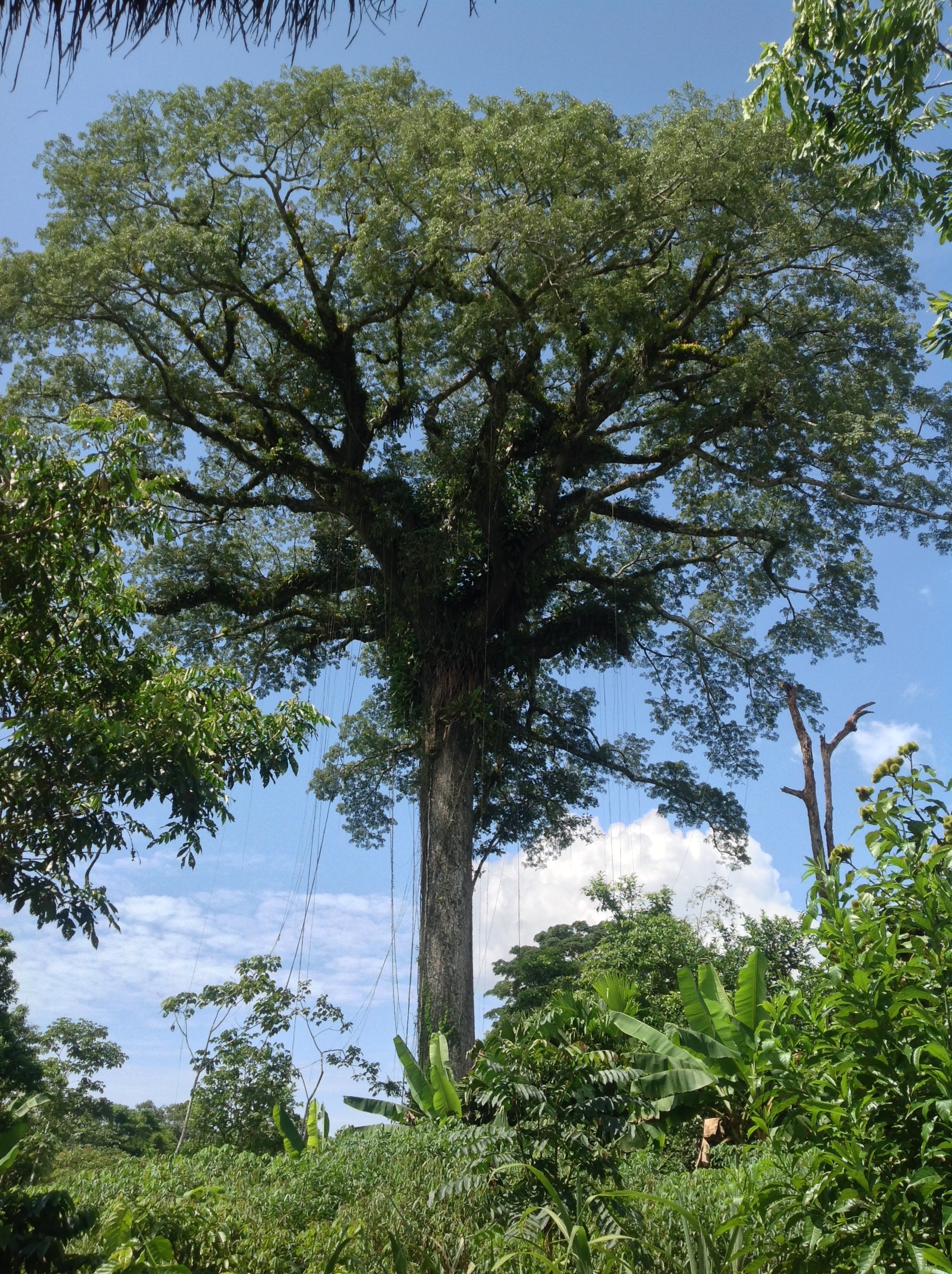 A view of the Kapok Tree.  It was so big it was hard to get it all in one frame.