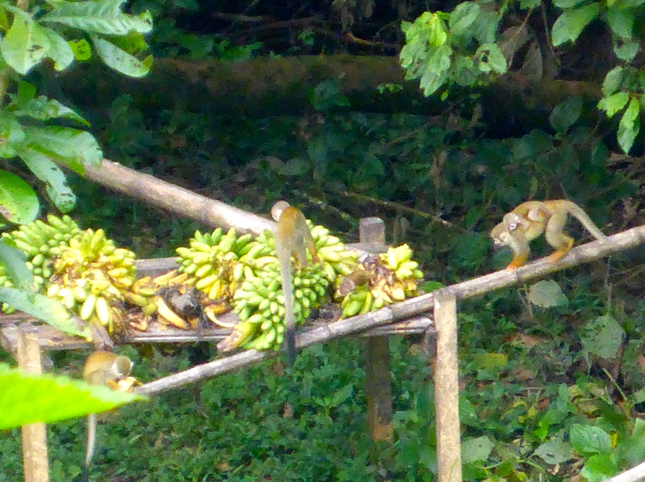 Spider monkeys came down from the trees to eat the bananas left for them.