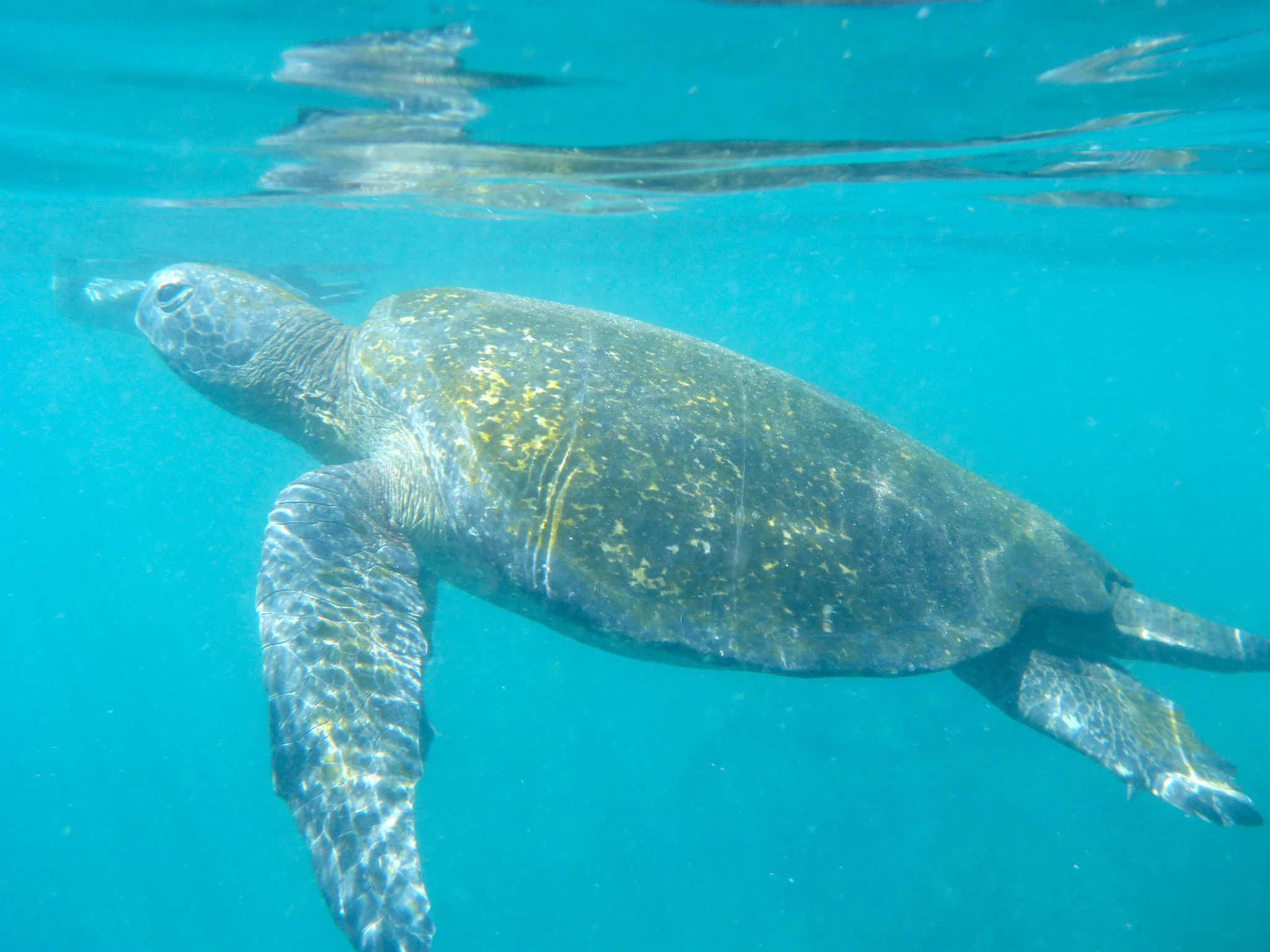 Sea turtle at Vincente Roca.