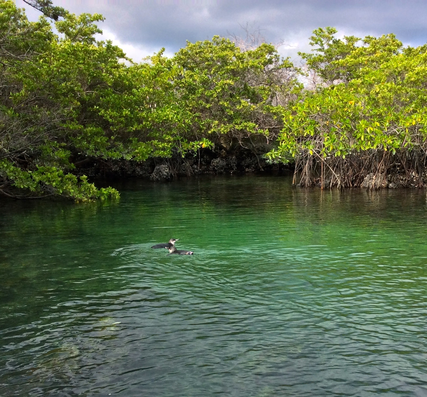 A couple of penguins swimming around in the mangroves.