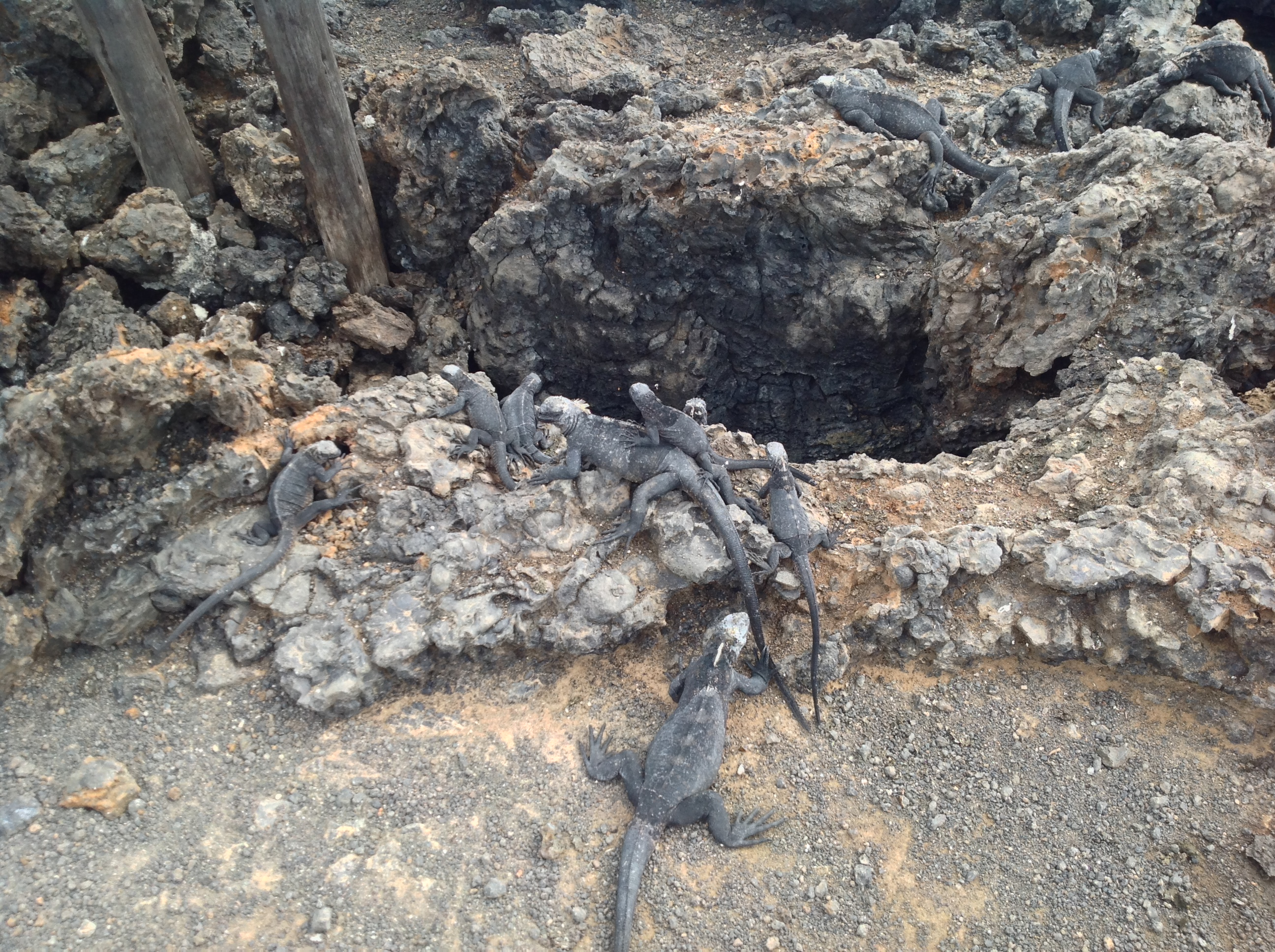 A few skittish juvenile marine iguanas hanging out near the trail.