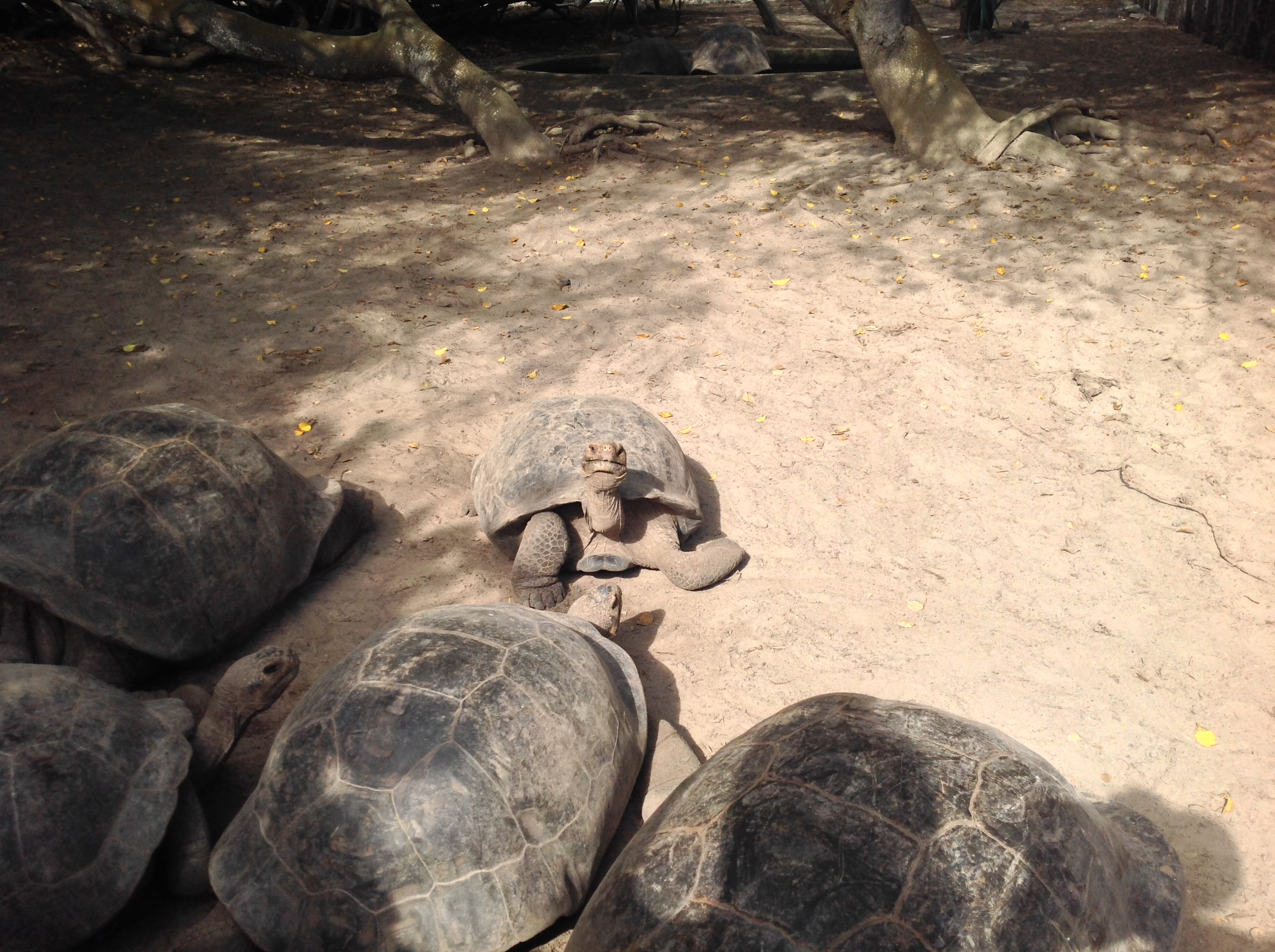A few juvenile Galapagos Tortoises in the rehabilitation center.