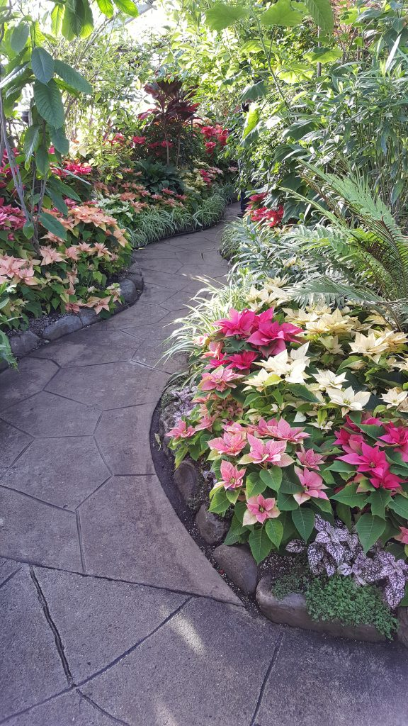 Poinsettia display at Allan Gardens (2017).